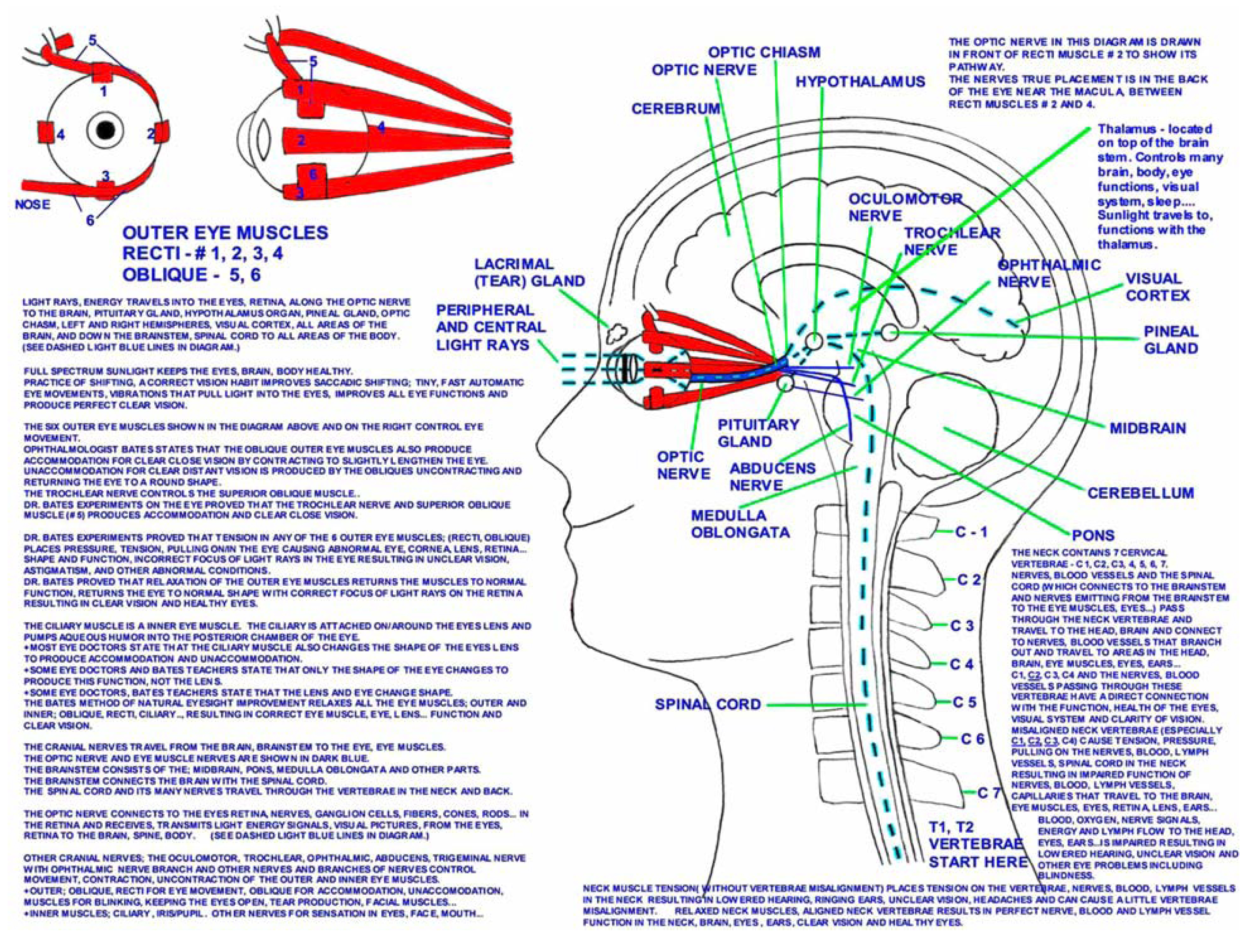 Path of light rays and eye muscles nerves in the eyes brain body light rays eye muscles ccuart Gallery